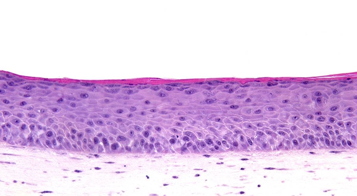 SKin Histology 7 Days Thickness